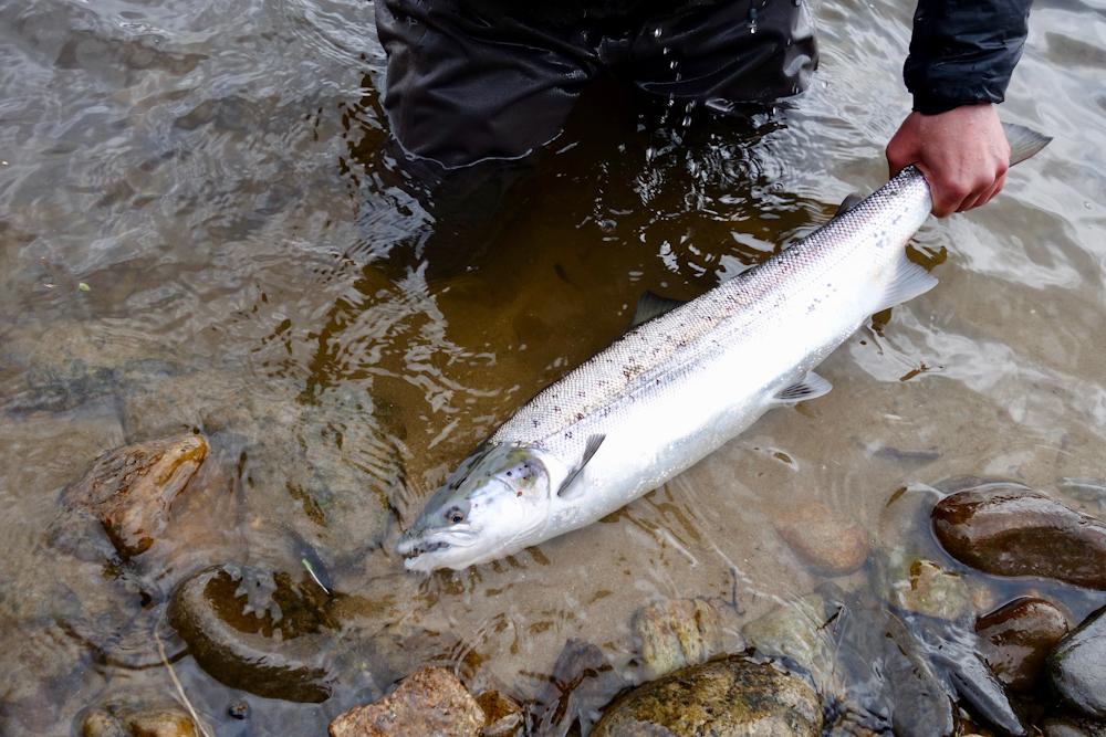 salmon knockando spey