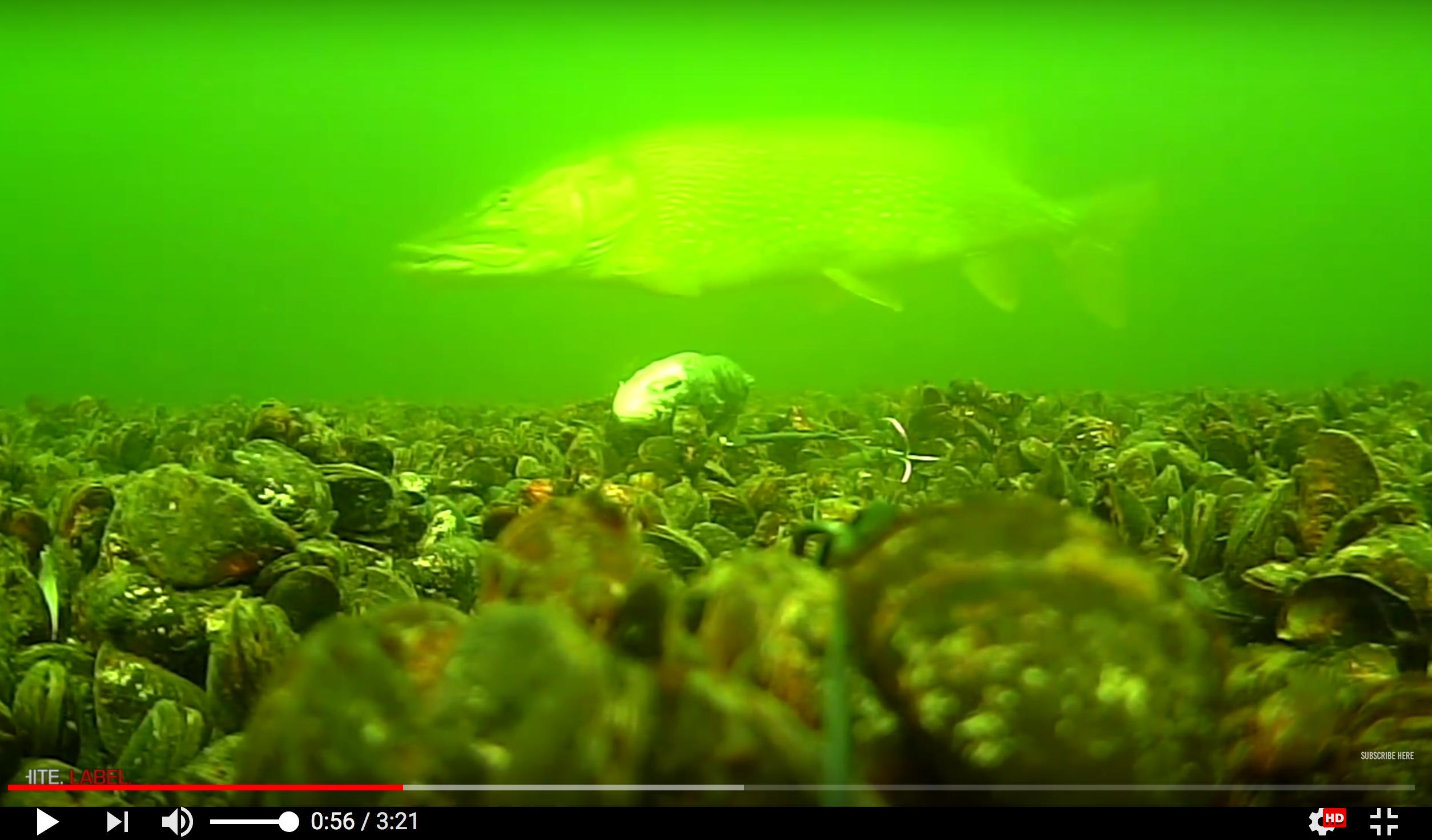 Gädda på 20300 g – Hugget videofilmades under vattnet!